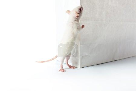 Photo pour Mignon rat blanc examiner sac en papier - image libre de droit