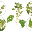 Infection of black currant by grey mould, Botrytis...