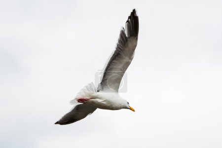 White seagull soaring in the  sky