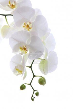 Photo pour Orchidée blanche isolée sur blanc - image libre de droit