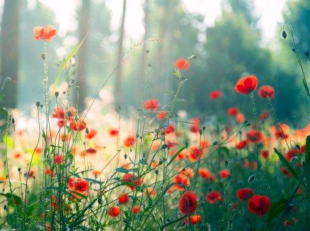 Foto de Amapolas rojas en el bosque por la mañana - Imagen libre de derechos