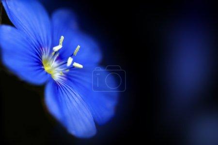 Foto de Pequeña flor hepatica en fondo negro - Imagen libre de derechos