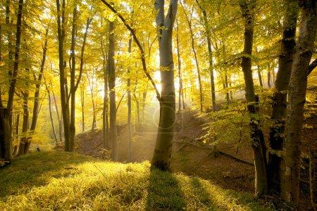 Foto de Bosque nebuloso con sol y niebla - Imagen libre de derechos