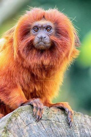 Photo pour Tamarin lion doré perché sur Journal bouchent vue - image libre de droit