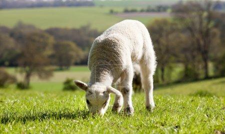 Single lamb eating grass