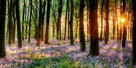 Photo pour Bois Bluebell au lever du soleil du matin - image libre de droit