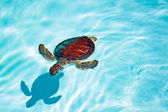 Baby turtle swimming in the water