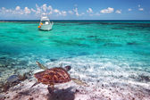 Green turtle in Caribbean Sea scenery