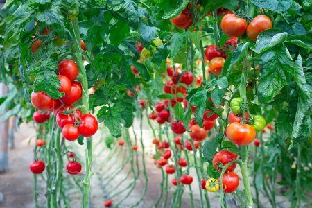 Photo for Farm of tasty red tomatoes on the bushes - Royalty Free Image
