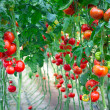 Farm of tasty red tomatoes on the bushes...