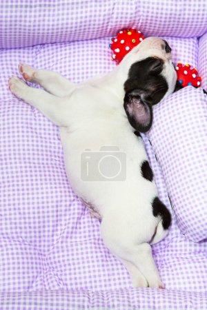 Sleeping French bulldog puppy