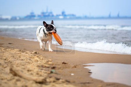 Photo pour Bouledogue français jouant sur la plage de la mer Baltique - image libre de droit