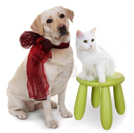 White Angora cat and dog of breed Labrador Retriever.