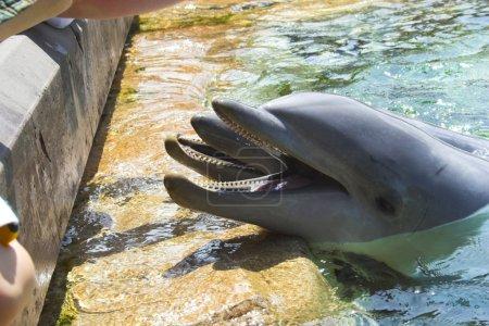 Photo pour Les dauphins dans l'étang bleu clair interagissant avec le public - image libre de droit