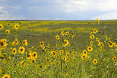 Sunny prairie meadows blooming with black-eyed Suz