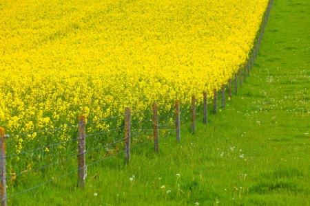Photo pour Champ de viol jaune et prairie verte divisée par une clôture métallique - image libre de droit