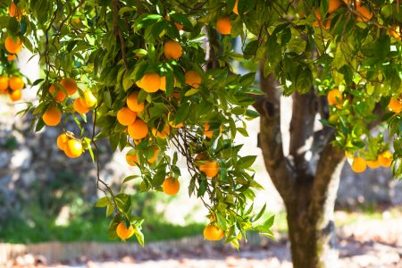 Photo for Orange tree with ripe fruits in sunlight. Horizontal shot - Royalty Free Image