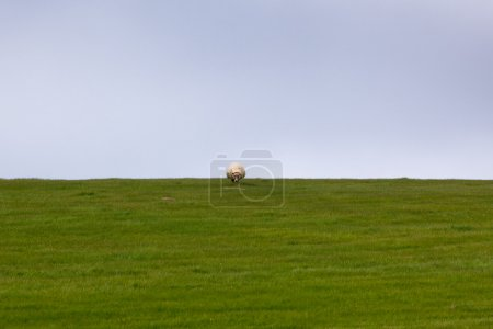 Sheep on a green grass meadow