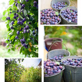 Plum harvest collage