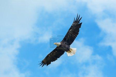 Photo pour Pygargue à tête blanche américain tournant dans les airs - image libre de droit