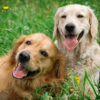 Portrait of two young dogs playing in the meadow...