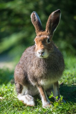 Photo for Mountain Hare (lat. Lepus timidus) with brown hair in summer - Royalty Free Image