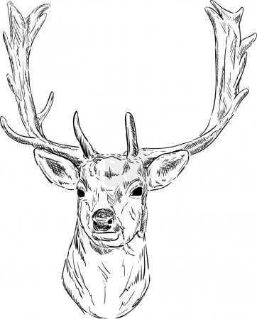 Vector - portrait fallow deer isolated on backgrou...