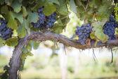 Svěží, zralé víno hrozny na vinici