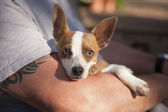 Cute Jack Russell Terrier Look On As Master Holds Her