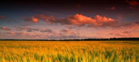 Yellow wheatfield at sunset