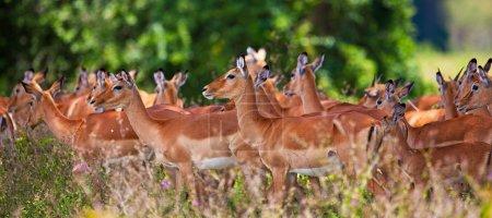 Photo pour Antilopes Impala dans le parc national Lac nakuru au kenya, en Afrique. l'impala (aepyceros melampus) est une antilope d'Afrique moyennes. - image libre de droit