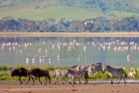 Zebras and a wildebeest walking beside the lake in the Ngorongoro Crater, Tanzania, flamingos in the background