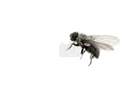 Photo for Closeup of common housefly with wings and legs isolated on white - Royalty Free Image