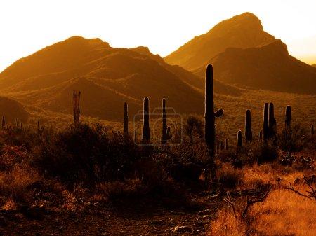 Photo for Many Saguaro cactus on mountainside in desert southwest - Royalty Free Image