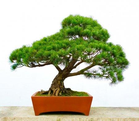 Photo pour Bonsaï pin contre un mur blanc - image libre de droit