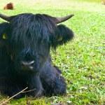 A baby yak on a meadow near Brunico, Trentino Alto...