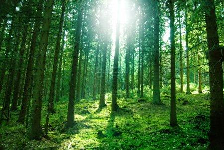 Photo pour Lumière du soleil matin dans la forêt verte - image libre de droit