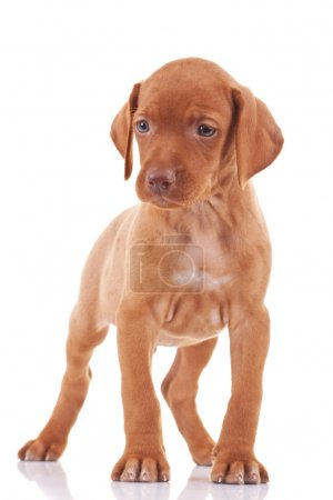 hungarian viszla puppy dog
