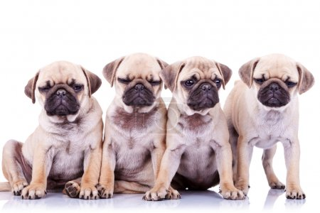 Four bored mops puppy dogs