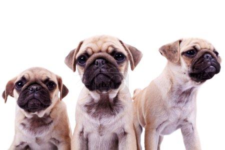 three curious pug puppy dogs