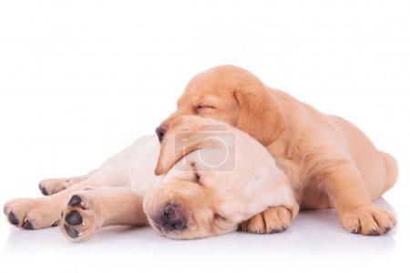 Two adorable labrador retriever puppy dogs sleeping