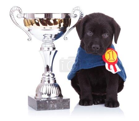 labrador retriever puppy dog sitting near a big trophy