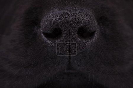 Photo pour Macro image d'un nez d'un chiot labrador noir récupérateur - image libre de droit