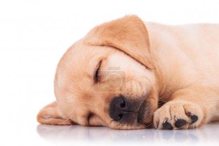 closeup of a labrador retriever puppy dog sleeping
