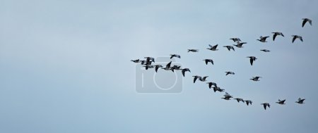 Barnacle Geese Flying to Roost