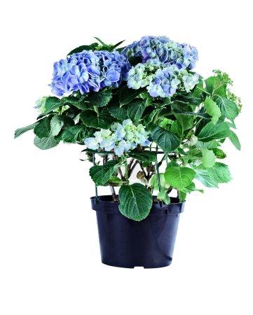 Foto de Azul Hortensia en maceta aislado sobre un fondo blanco con trazado de recorte. - Imagen libre de derechos