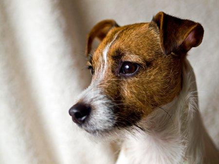 Photo pour Portrait d'un mignon Jack Russell Terrier - image libre de droit