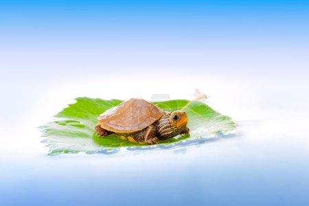Photo pour Image d'un bébé Carte commune Tortue flottant sur une feuille - image libre de droit