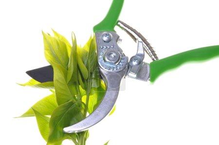 Garden pruner with green twigs