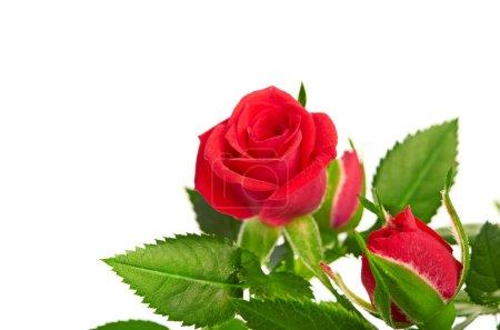Photo pour Bouquet de roses roses en pot de fleurs. isolé sur fond blanc - image libre de droit